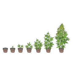 hemp potted growth stages plants development vector image