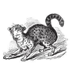 Oncilla vintage engraving vector image
