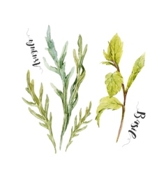 Watercolor arugula and green basil vector