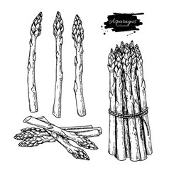 asparagus hand drawn isolated vector image
