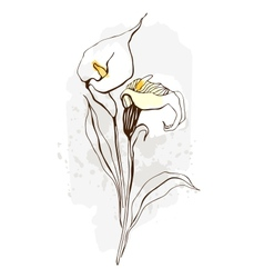 Calla floral of blooming flowers vector
