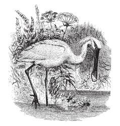 european spoonbill vintage vector image