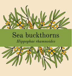 sea-buckthorn hippophae rhamnoides edible and vector image