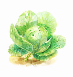 Watercolor botanical of cabbage vector