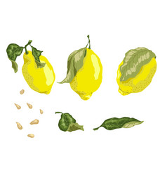 set with 3 juicy lemon fruits leaves and seeds in vector image