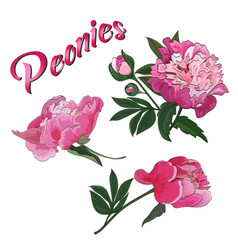 flowers and buds pink peony on a white vector image