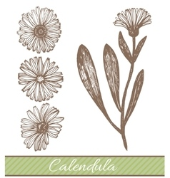 Hand drawn calendula vector