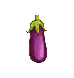 Purple eggplant isolate aubergine vegetable sketch vector