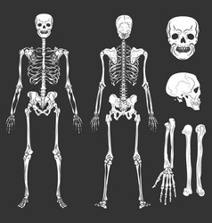 human body skeleton bones and joints vector image vector image