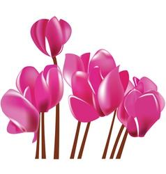 cyclamen flowers vector image