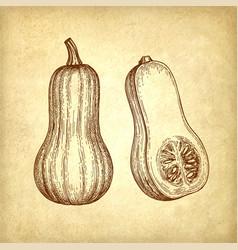 ink sketch of butternut squash vector image