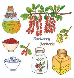 berberis vector image