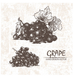 Digital detailed grape hand drawn vector