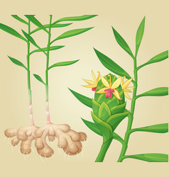 Ginger plant vector