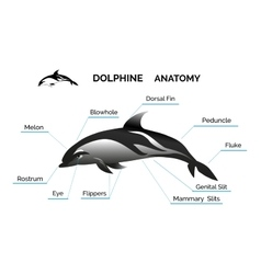 Dolphine Anatomy vector image vector image