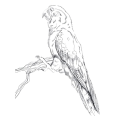 Black and white sketch of a Macaw Parrot vector image