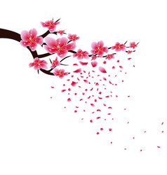 sakura flowers background cherry blossom isolated vector image vector image