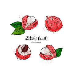 Litchi fruit drawing lychee watercolor litchi on vector
