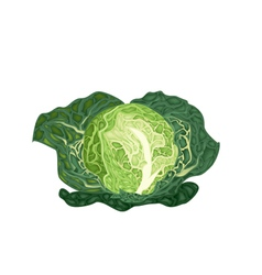 Fresh Green Savoy Cabbage on White Background vector image
