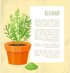 rosemary spice poster and text vector image