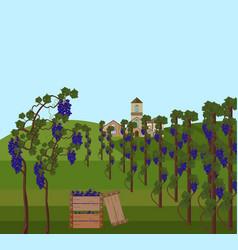 grapes vine harvest vector image vector image
