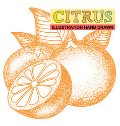 hand drawn citrus vector image