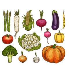 isolated farm vegetables sketches vector image