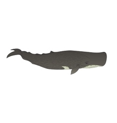 Cachalot or sperm whale on a white background vector image