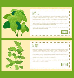 Basil and mint banner color vector