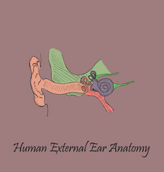 Hand drawn coloured human external ear vector