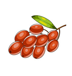 barberry berries icon vector image