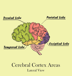 Coloured human brain areas lateral view vector