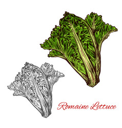 Romaine or cos lettuce sketch with green leaf vector