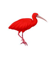 detailed of scarlet ibis vector image