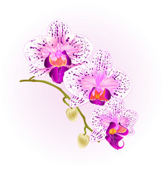 beautiful orchid purple and white phalaenopsis vector image