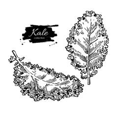 Kale hand drawn set Vegetable engraved vector image