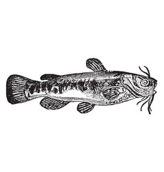 Catfish vintage vector