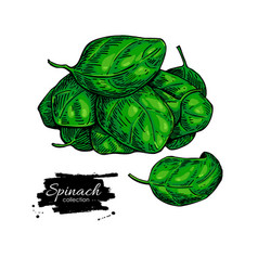 spinach leaves hand drawn heap vegetable vector image