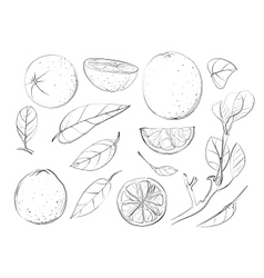 Sketch Oranges and Leaves Set vector