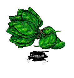 spinach leaves bunch hand drawn vegetable vector image