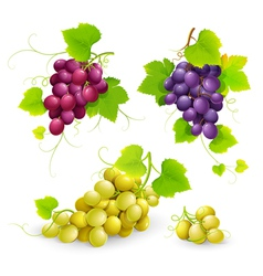 Bunches of grapes vector