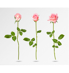 realistic pink rose set three 3d roses on vector image