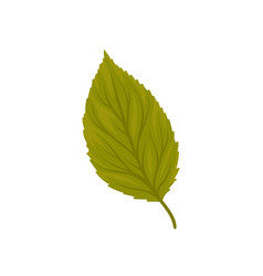 Green beech leaf on a white vector