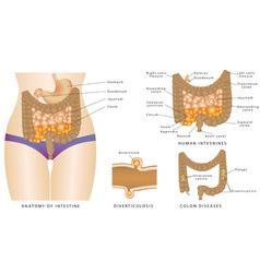 Anatomy of Intestine vector image vector image
