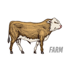 Farm cattle bull or cow natural milk and meat vector