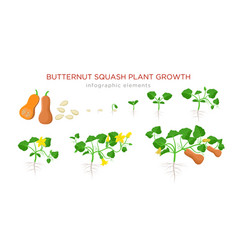 butternut squash plant growth stages infographic vector image
