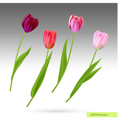 purple and pink tulips vector image
