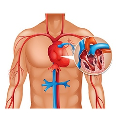 Zoom out of human heart vector