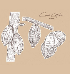 cacao hand draw sketch vector image