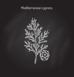 Cypress sprig vector